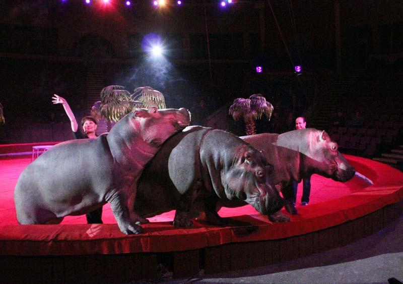 В цирке новая программа – «Шоу бегемотов»