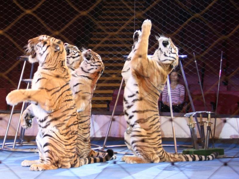 Цирк Никулина представляет юбилейную программу в Саратове